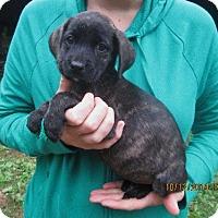 Adopt A Pet :: Dagmar - Lincolndale, NY