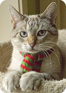 Siamese Cat for adoption in Chicago, Illinois - Atlas