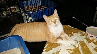 Domestic Shorthair Cat for adoption in Honolulu, Hawaii - Ms. Continental