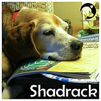 Adopt A Pet :: Shadrack - Novi, MI