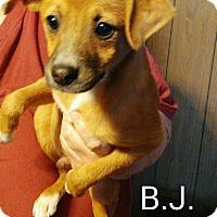 Adopt A Pet :: BJ - Trenton, NJ