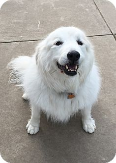 Great Pyrenees/Australian Shepherd Mix Dog for adoption in Bloomington, Illinois - Bridgette.ADOPTED!!