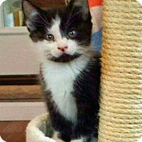 Adopt A Pet :: Misty - Troy, MI