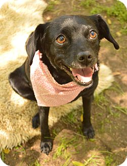 Schipperke/Pug Mix Dog for adoption in Auburn, California - Maggie