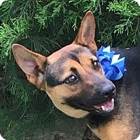 Adopt A Pet :: Misty - Dallas, TX