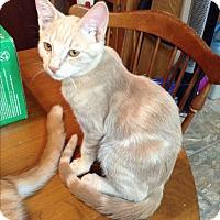 Adopt A Pet :: Uno - Phoenix, AZ