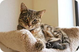 Domestic Shorthair Cat for adoption in Mocksville, North Carolina - Dolly
