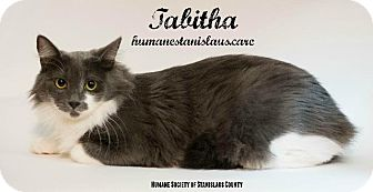 Domestic Mediumhair Kitten for adoption in Modesto, California - Tabitha