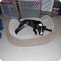 Adopt A Pet :: Prince - Batavia, OH