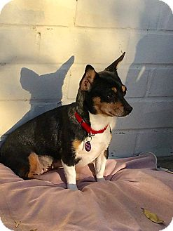 Chihuahua Mix Dog for adoption in Los Angeles, California - Candy