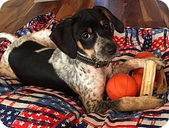 Beagle Mix Puppy for adoption in Shakopee, Minnesota - Nina D3286