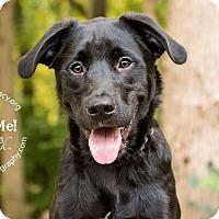 Border Collie/Labrador Retriever Mix Dog for adoption in Cincinnati, Ohio - Crawley