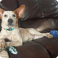Adopt A Pet :: Dexter - Westminster, CO