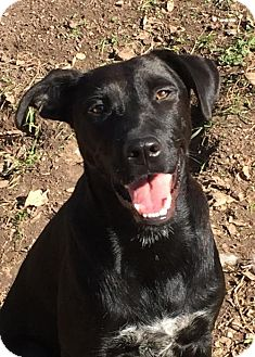 Labrador Retriever Mix Dog for adoption in Barnhart, Missouri - Lady