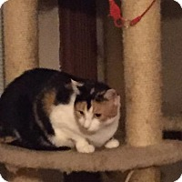 Domestic Shorthair Cat for adoption in Fenton, Missouri - Emily