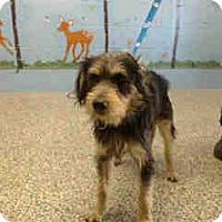 Terrier (Unknown Type, Medium) Mix Dog for adoption in San Bernardino, California - URGENT ON 11/10 San Bernardino