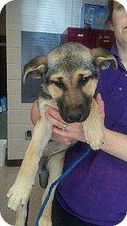German Shepherd Dog Puppy for adoption in Morrisville, North Carolina - Lesley (Adoption Pending)