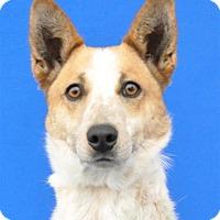 Adopt A Pet :: Jack - Pagosa Springs, CO