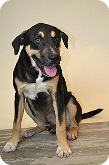 Rottweiler/Labrador Retriever Mix Dog for adoption in Rockwall, Texas - Elvis