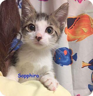 Domestic Shorthair Kitten for adoption in Cliffside Park, New Jersey - SAPPHIRA