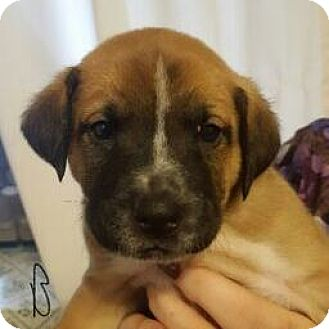 Shepherd (Unknown Type) Mix Puppy for adoption in Chicago, Illinois - Donny