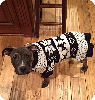 Pit Bull Terrier/Staffordshire Bull Terrier Mix Puppy for adoption in Huntington, New York - Marshall