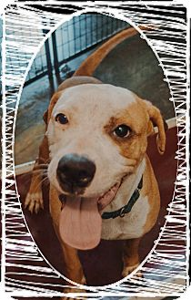 Boxer Mix Dog for adoption in Apache Junction, Arizona - Jamba
