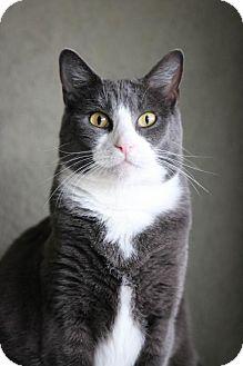 Domestic Shorthair Cat for adoption in Boise, Idaho - Snuggles
