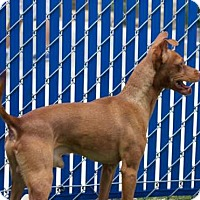 Adopt A Pet :: Rusty - Oceanside, CA