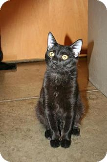 Bombay Kitten for adoption in Scottsdale, Arizona - Twister- Courtesy Post