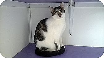 Domestic Shorthair Cat for adoption in Richboro, Pennsylvania - Jane Fonda