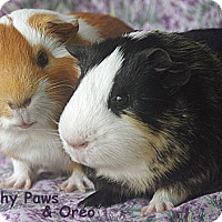 Adopt A Pet :: Squishy Paws and Oreo - Santa Barbara, CA
