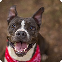 American Pit Bull Terrier/American Staffordshire Terrier Mix Dog for adoption in Portland, Oregon - Barney Boy
