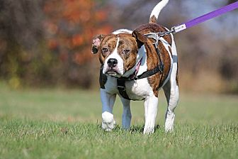 American Bulldog/Beagle Mix Dog for adoption in Shrewsbury, New Jersey - Nani