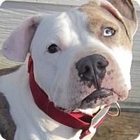 Adopt A Pet :: Po'Boy (MO) - Fulton, MO