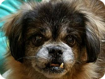 Pekingese Dog for adoption in Bellbrook, Ohio - Stevie