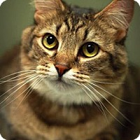 Adopt A Pet :: Tommy - Parma, OH