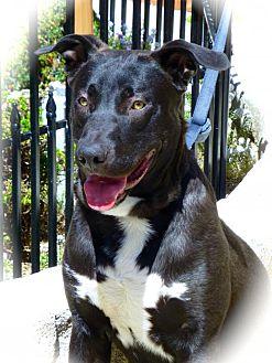 Labrador Retriever/Shepherd (Unknown Type) Mix Dog for adoption in Anaheim, California - Jet