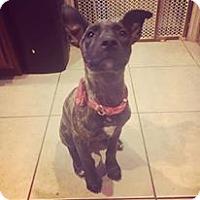 Adopt A Pet :: Sena - Phoenix, AZ