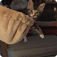 Adopt A Pet :: Ciabatta - Orlando, FL
