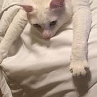 Domestic Shorthair Cat for adoption in Mission Viejo, California - Princess