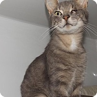 Domestic Shorthair Cat for adoption in Orleans, Vermont - Sparrow