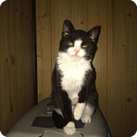 Domestic Shorthair Cat for adoption in Clay, New York - September Special