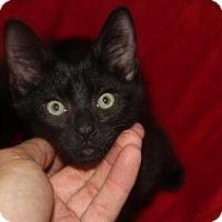 Adopt A Pet :: Graham KITTEN - tampa, FL