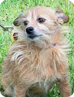 Cairn Terrier/Terrier (Unknown Type, Small) Mix Dog for adoption in Homestead, Florida - Kimmy