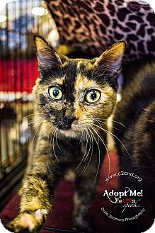 Domestic Shorthair Kitten for adoption in Mooresville, North Carolina - A..  Betty