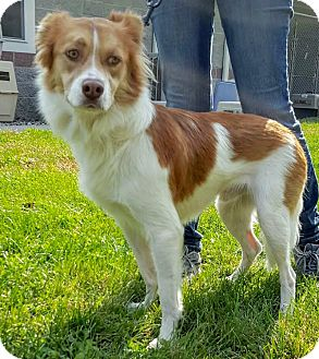 Australian Shepherd Mix Dog for adoption in Lafayette, New Jersey - Denver