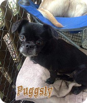 Pug/Chihuahua Mix Dog for adoption in Gulfport, Mississippi - Sweetie