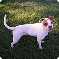 Boxer/Pit Bull Terrier Mix Dog for adoption in Muskegon, Michigan - Lynn