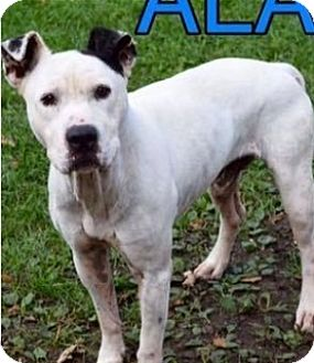 American Pit Bull Terrier Mix Dog for adoption in Saginaw, Michigan - Aladdin